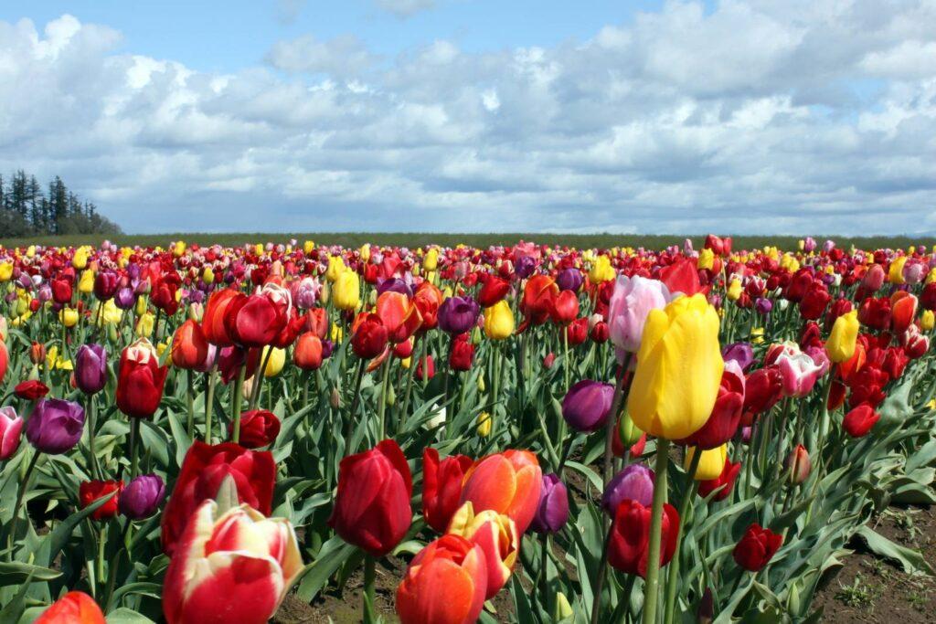wooden-shoe-tulip-farm